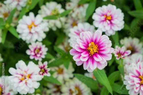 Photo Pink flowers, also known as zinnia, are most commonly planted in the garden as seedlings are planted in pots or down to the ground