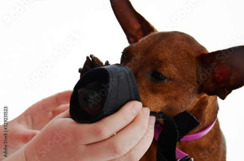 The owner puts a muzzle on a small dog's face Canvas Print