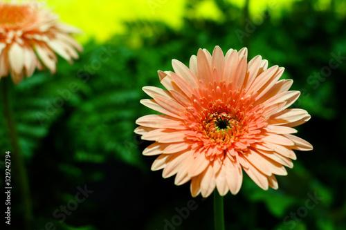 Photo orange gerbera flowers in garden and blur green leaves background