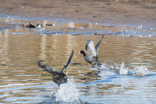 Two American Coots  Running Ac...