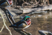 A Picture Of A Male Wood Duck ...