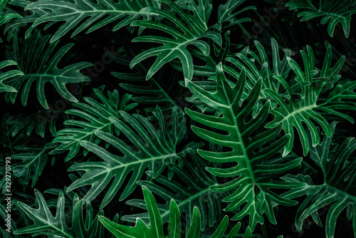 Fototapety, obrazy: ropical leaves,(Fern leaves) green foliage in jungle, nature background