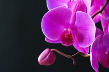Purple Orchid Branch On Dark B...