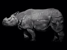 Side View Of Young Rhinoceros Over Black Background