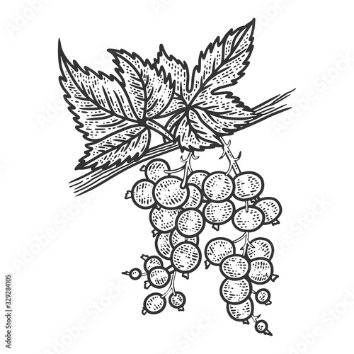 Papel de parede Black currant plant with berries sketch engraving vector illustration