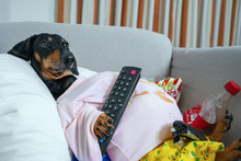 Fat Dog Couch Potato Eating A ...