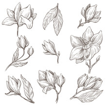 Wild Blossom Of Magnolia Flower, Plant Isolated Sketches