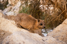 Rock Hyrax (Procavia Capensis) In The Wild. Rock Hyrax Sitting On A Rock. Close Up.