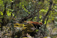 Red Panda In Forest