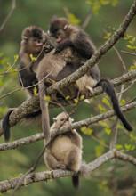Yunnan Snub-nosed Monkeys Sitt...