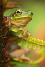 Tree Frog In Fern