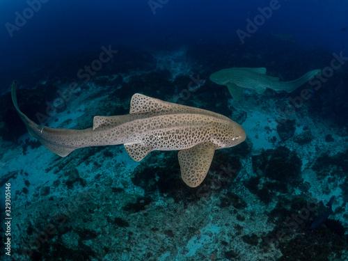 Fototapeta Two leopard sharks swimming Byron Bay