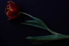 Red Tulip And Dried Petals On ...