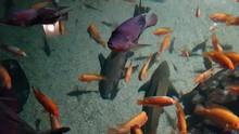 Oscar Fish Swimming Above A Su...