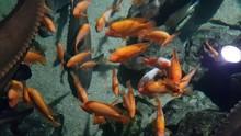 Red Devil Cichlid Fish (Amphil...