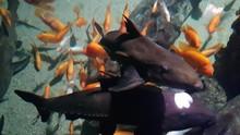 Ripsaw Catfish Swimming Above ...