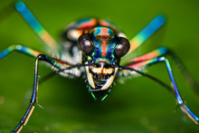 Blue Spotted Tiger Beetle