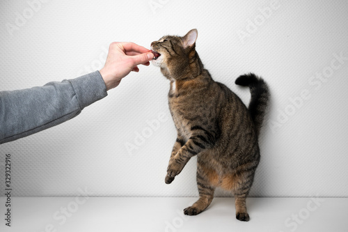 Fototapeta human hand of pet owner feeding greedy cat with raw meat in front of white background with copy space obraz