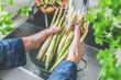 Leinwandbild Motiv cropped shot of male hands in soil washing fresh asparagus in kitchen sink.