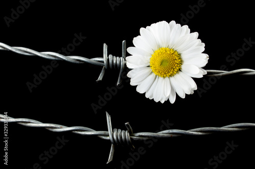 Daisy flower and barbed wire. Concept of suppression or war in contrast to caring, peace and hope