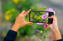 Hand Holding Mobile Phone And Take A Photo Colorful Flowers On Blurred Background With Sunlight.Smart Phone Trip, Close-up Of A Beautiful Woman's Hands Are Taking Purple Flower.