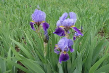 Bearded Irises With Three Flowers In Shades Of Purple