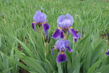 Buds And Three Flowers Of Bearded Irises In Shades Of Purple