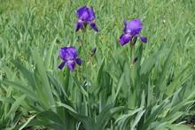Vibrant Purple Flowers Of Three Bearded Irises In May