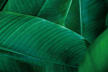 Tropical Banana Leaf, Abstract...
