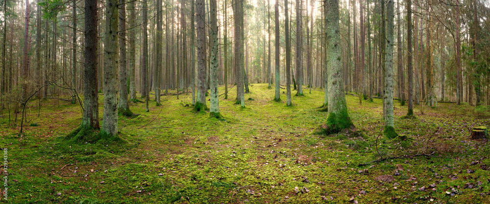 Fototapeta panorama of an old spruce forest with moss on the ground