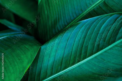 Fototapeta tropical banana leaf, abstract green banana leaf, large palm foliage nature dark green background obraz