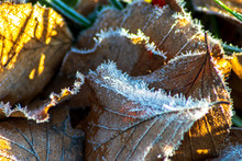 Frosty Brown Leaves On The Gro...
