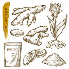 Sketch Of Turmeric Curcuma, Spice Seasonings Root