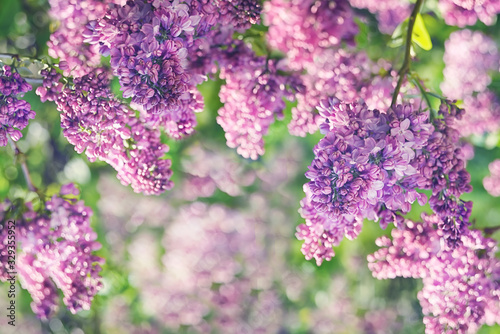 Spring flowering lilac in the garden. natural spring background. Canvas Print