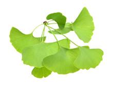 Ginkgo Biloba Fresh Leaves  On White Background
