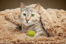 Domestiс Cat Lying With Ball ...