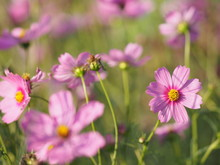 Pink Sulfur Cosmos, Mexican Aster Flowers Are Blooming Beautifully In The Garden, Blurred Of Nature Background