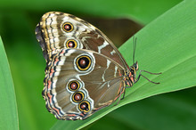 Common Blue Morpho Butterfly, ...