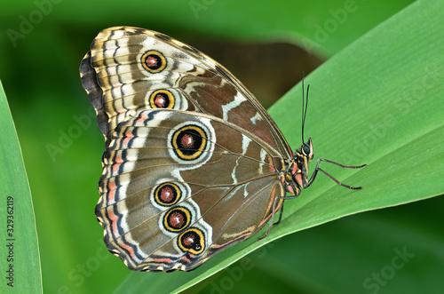 Valokuvatapetti Common blue Morpho butterfly, (Morpho peleides), perched on leaf