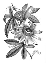 Passiflora Plant And Flower/ Antique Illustration From Brockhaus Konversations-Lexikon 1908