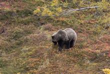 Grizzly Bear In Autumn  In Denali National Park Alaska