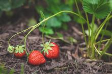 Organic Strawberry Patch