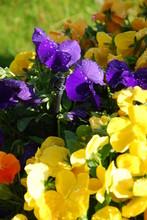 Purple Yellow Dew Petunias
