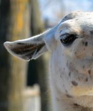 The Llama Eye (Lama Glama) Is ...