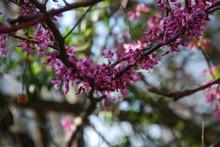 Springtime Redbud Branch