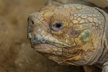 Portrait Of Desert Tortoise (Gopherus Agassizii)