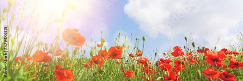 Red poppy flowers on sunny blue sky - 329383319