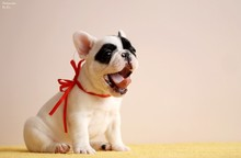 French Bulldog Puppy Posing In...
