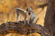 Vervet Monkey (Chlorocebus Pygerythrus), Or Simply Vervet, Is An Old World Monkey Of The Family Cercopithecidae Native To Africa.