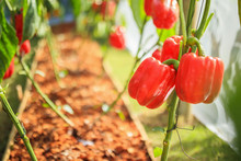 Red Bell Pepper Plant Growing ...